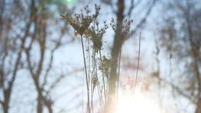 Erba asciutta che ondeggia nel paesaggio della natura di luce solare della siluetta del vento Fotografie Stock Libere da Diritti