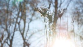 Erba asciutta che ondeggia nel paesaggio della natura di luce solare della siluetta del vento Immagini Stock