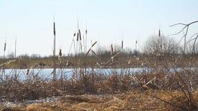 Erba asciutta della palude Cattail asciutto maturo sul lago stock footage