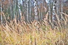 Erba asciutta di autunno in un birchwood Immagini Stock