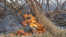 Erba asciutta e rami brucianti vicini sulla vista Fuoco selvaggio pericoloso nella natura video d archivio
