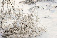 Erba asciutta sotto la neve Immagini Stock
