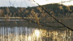 Erba asciutta sul lago video d archivio