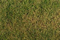 Erba asciutta verde reale su terra Fotografie Stock Libere da Diritti