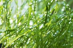 Erba bagnata in giardino Fotografia Stock Libera da Diritti
