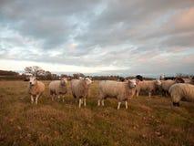 Erba bianca alta vicina dell'allevamento di pecore del terreno coltivabile che pasce animale diritto Fotografia Stock Libera da Diritti