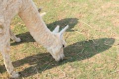 Erba bianca di cibo della lana dell'alpaga Immagine Stock Libera da Diritti
