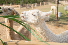 Erba bianca di cibo della lana dell'alpaga Immagini Stock