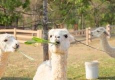 Erba bianca di cibo della lana dell'alpaga Immagini Stock Libere da Diritti