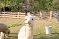 Erba bianca di cibo della lana dell'alpaga Fotografia Stock Libera da Diritti