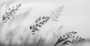 Erba in bianco e nero nella nebbia Fotografia Stock