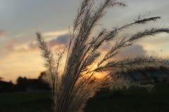 Erba blady di tramonto Fotografie Stock Libere da Diritti