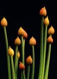 Erba cipollina (allium schoenoprasum) Fotografia Stock Libera da Diritti