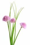Erba cipollina (allium schoenoprasum) Immagine Stock Libera da Diritti