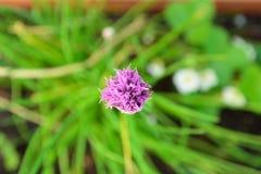 Erba cipollina con il fiore Fotografie Stock