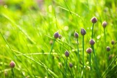 Erba cipollina di fioritura Immagini Stock