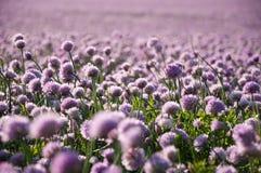 Erba cipollina di fioritura fotografie stock libere da diritti