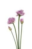 Erba cipollina di fioritura Fotografia Stock