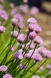 Erba cipollina di fioritura Fotografia Stock Libera da Diritti