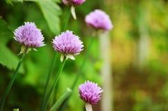 Erba cipollina di fioritura & x28; Schoenoprasum& x29 dell'allium; Immagini Stock
