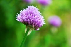 Erba cipollina di fioritura & x28; Schoenoprasum& x29 dell'allium; Fotografia Stock