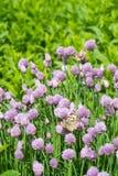 Erba cipollina e farfalla arancio nel giardino immagine stock