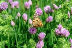 Erba cipollina e farfalla arancio nel giardino fotografia stock
