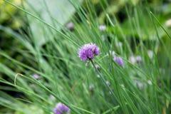 Erba cipollina ed il fiore della erba cipollina Fotografia Stock