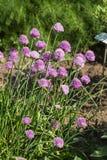 Erba cipollina in fiore Immagini Stock
