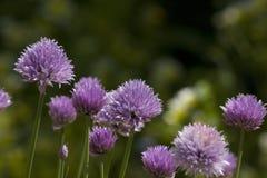 Erba cipollina in fiore, schoenoprasum dell'allium Fotografia Stock Libera da Diritti