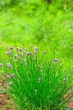 Erba cipollina in fioritura (allium schoenoprasum) Fotografie Stock Libere da Diritti