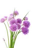 Erba cipollina fresca (allium Schoenoprasum) Immagini Stock