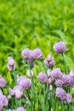Erba cipollina nel giardino Allium schoenoprasum fotografia stock