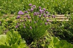 Erba cipollina nella toppa del giardino Immagine Stock