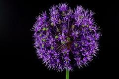 Erba cipollina (schoenoprasum dell'allium) Fotografia Stock