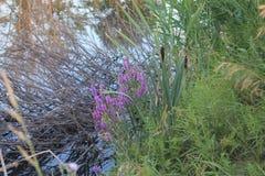 Erba colorata sulla riva del lago Immagine Stock
