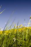 Erba con i fiori gialli Fotografie Stock Libere da Diritti