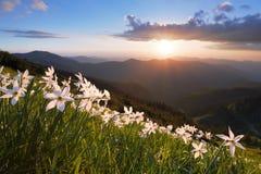 Erba con i narcisi Il tramonto illumina l'orizzonte Cielo con le nubi Paesaggio con le alte montagne Sentiero forestale al Mak de Fotografia Stock Libera da Diritti