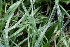 Erba con le gocce di pioggia Fotografia Stock