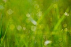 Erba con rugiada nella foresta di mattina Immagine Stock