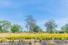 Erba dall'occhio giallo alta, Xyridaceae, campo della pianta del fiore nella stagione del raccolto del risone Fotografia Stock