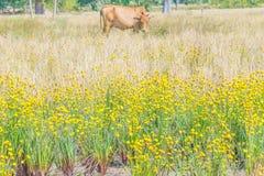 Erba dall'occhio giallo alta, Xyridaceae, campo della pianta del fiore nella stagione del raccolto del risone in Tailandia Fotografia Stock Libera da Diritti