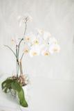 Erba decorativa in flowerpot Su fondo bianco Fotografia Stock