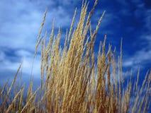 Erba decorativa presa contro cielo blu Immagine Stock Libera da Diritti