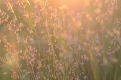 Erba del campo al tramonto Fuoco molle Fondo bronzeo dorato Gambi brillanti dell'erba Pace dello spirito fotografia stock