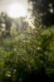 Erba del campo coperta di rugiada all'alba Fotografia Stock