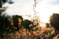 Erba del fiore al tramonto immagine stock libera da diritti