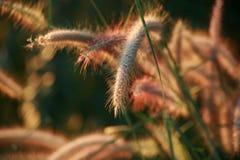 Erba del fiore di mattina Fotografia Stock Libera da Diritti