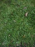 Erba del fondo con erba molto bella da vedere immagine stock libera da diritti