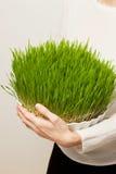 Erba del grano Coltivazione e giardinaggio urbani Immagine Stock